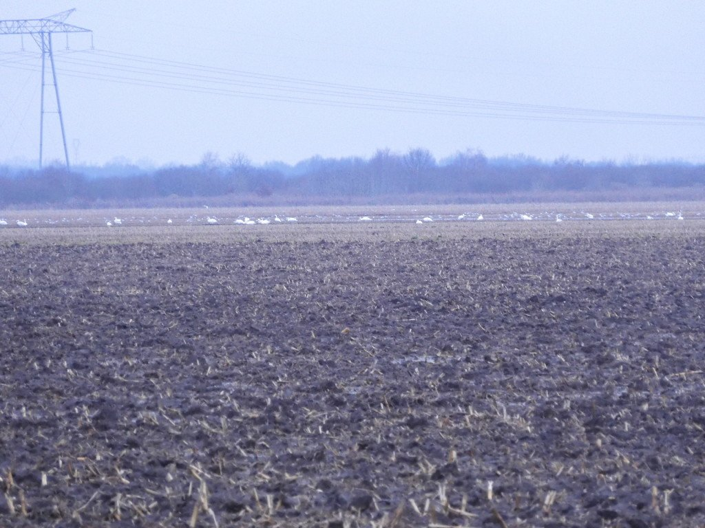 53 Cygnes des marais - photo perso de papa - 2020