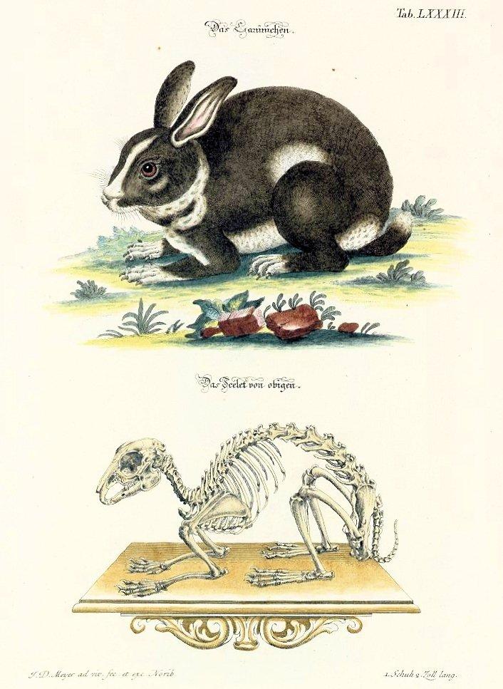 88 Johann Daniel Meyer - Planche zoologique de lapin - 1748