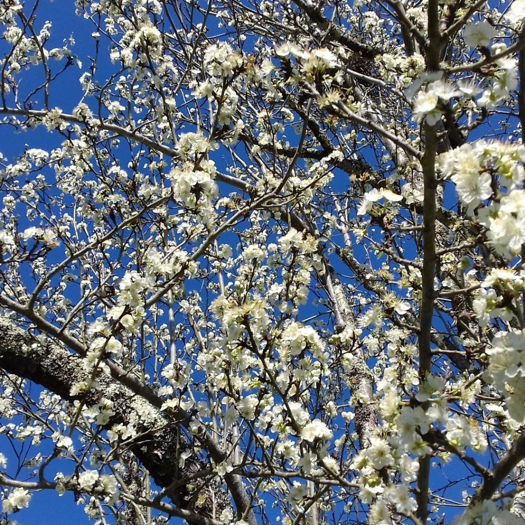 141 Prunier en fleurs - photo perso - 2021